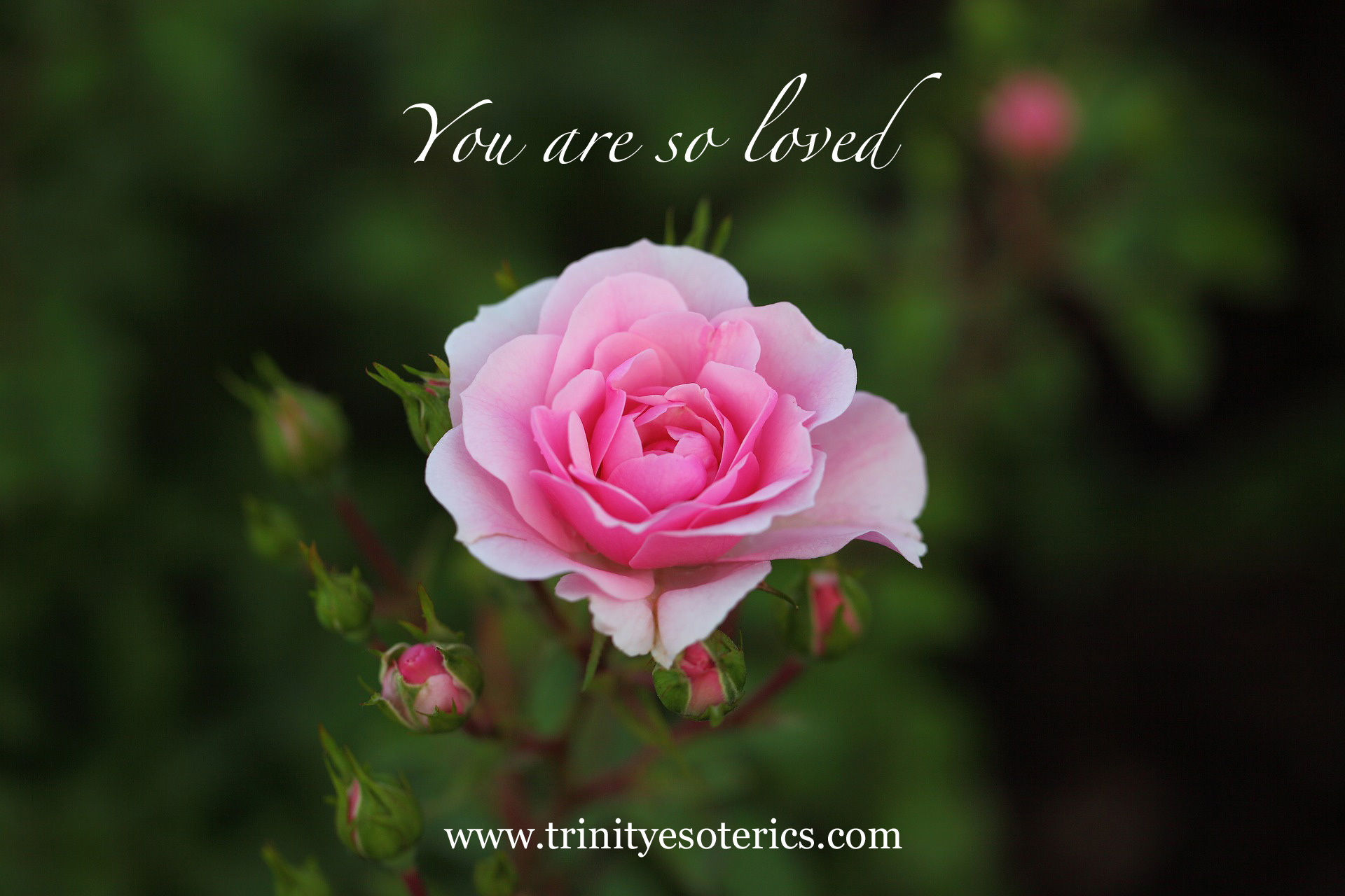 pink rose with buds trinity esoterics