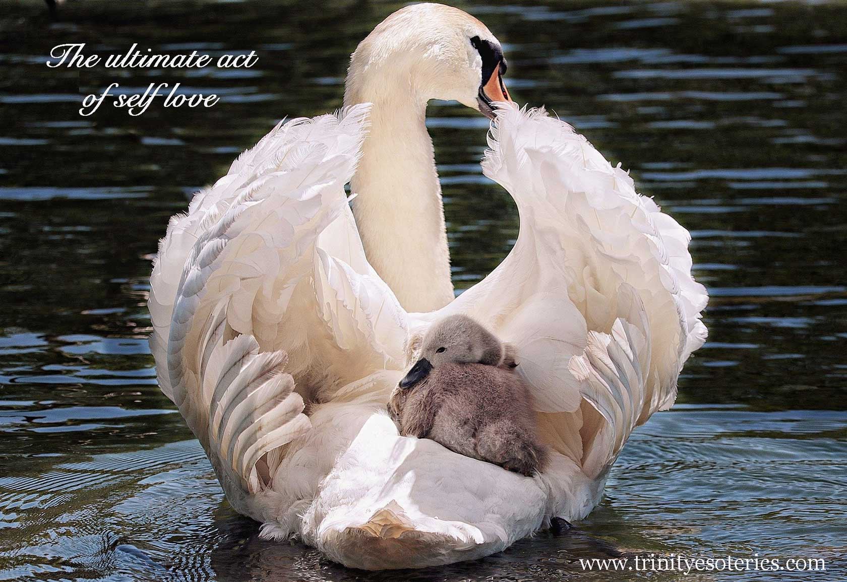 baby swan safe on mother's back trinity esoterics