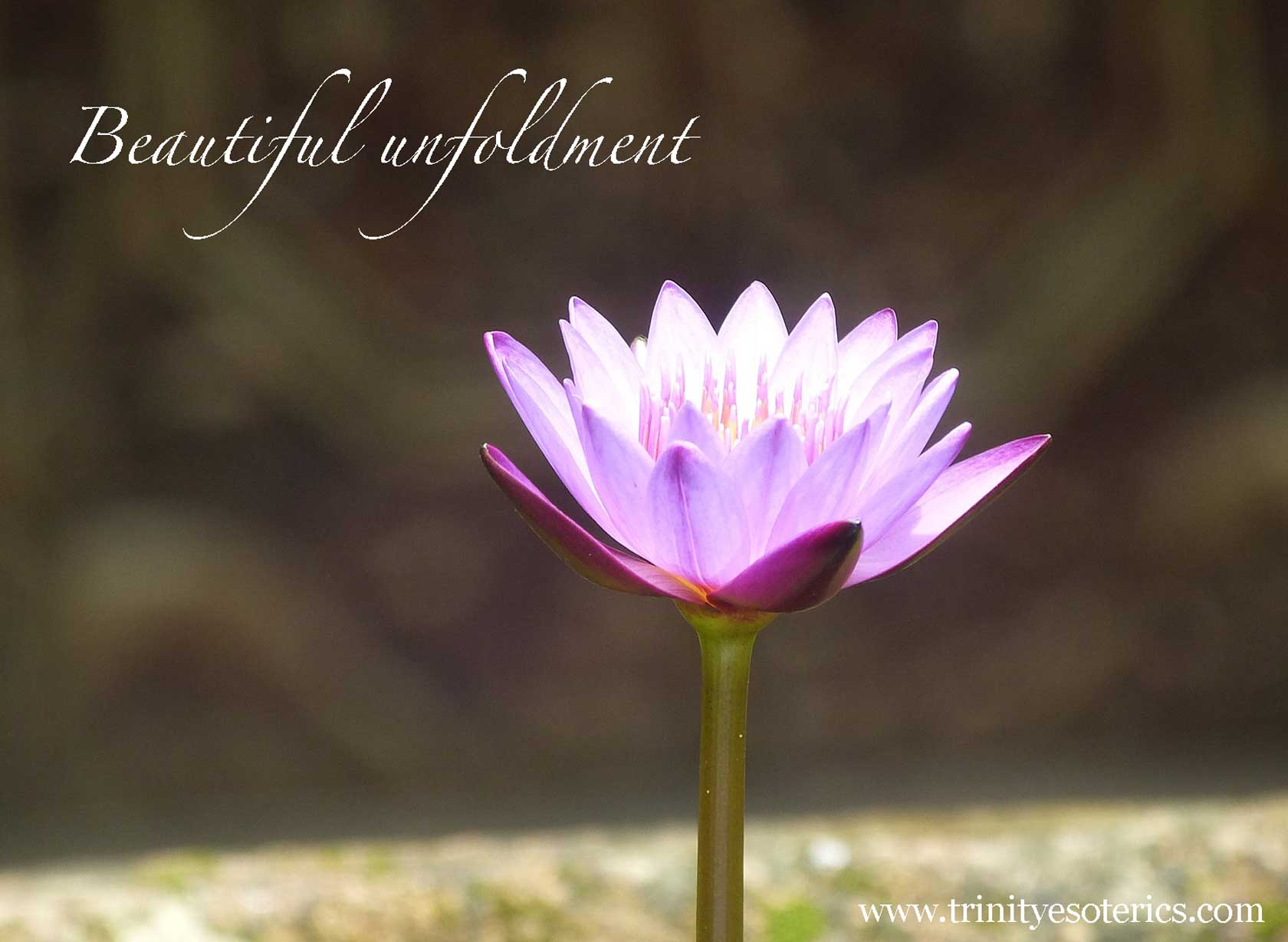 purple lotus blooming trinity esoterics